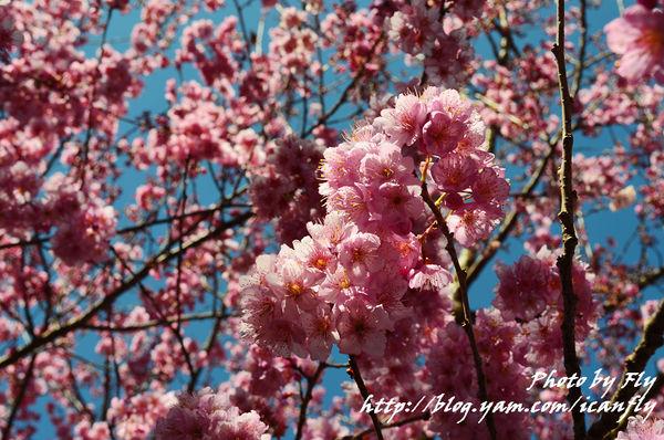 武陵農場賞櫻,詩寫櫻花月(2012) @我眼睛所看見的世界(Fly's Blog)