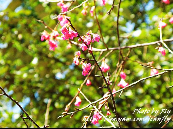 【趴趴走】三芝櫻花季開跑-賞櫻花、拿相框 @我眼睛所看見的世界(Fly's Blog)